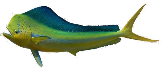 dorado fish, Reel Combo