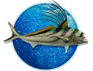 Rooster fish for Rooster fish pictures