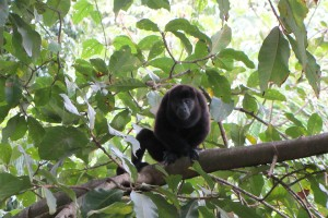 Costa Rican howler monkey