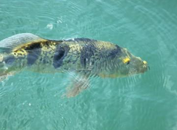 Peacock Bass Fishing in Panama