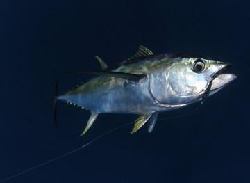 Yellow-fin Tuna
