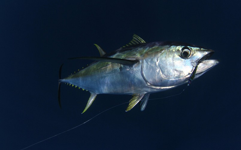 When Is The Best Time To Catch Yellow Fin Tuna