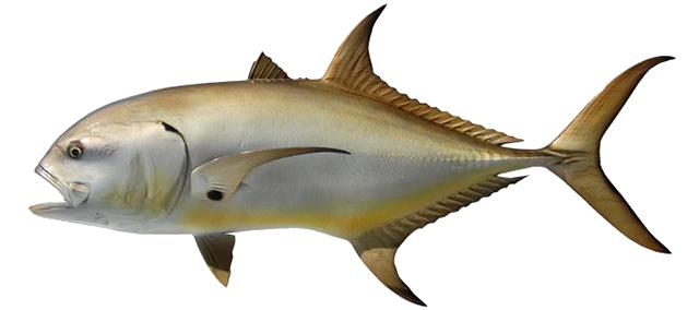 Jacks Fish
