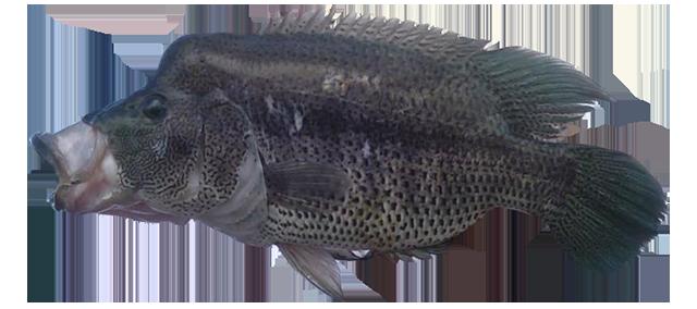 Rainbow Bass Fish