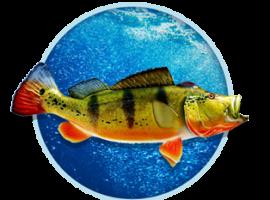 peacock-bass