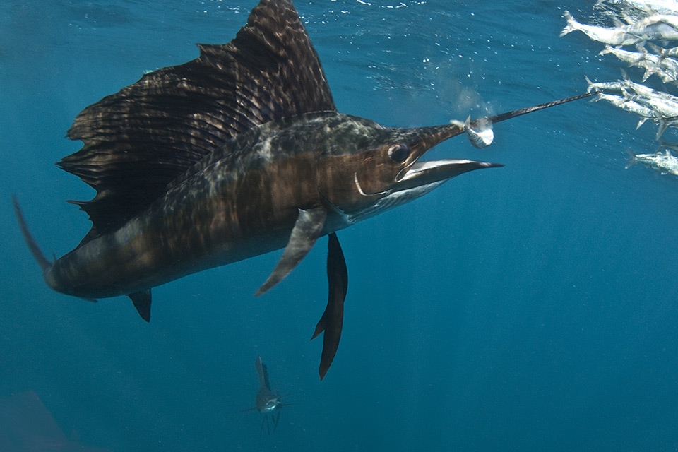Sailfish, Costa Rica fishing