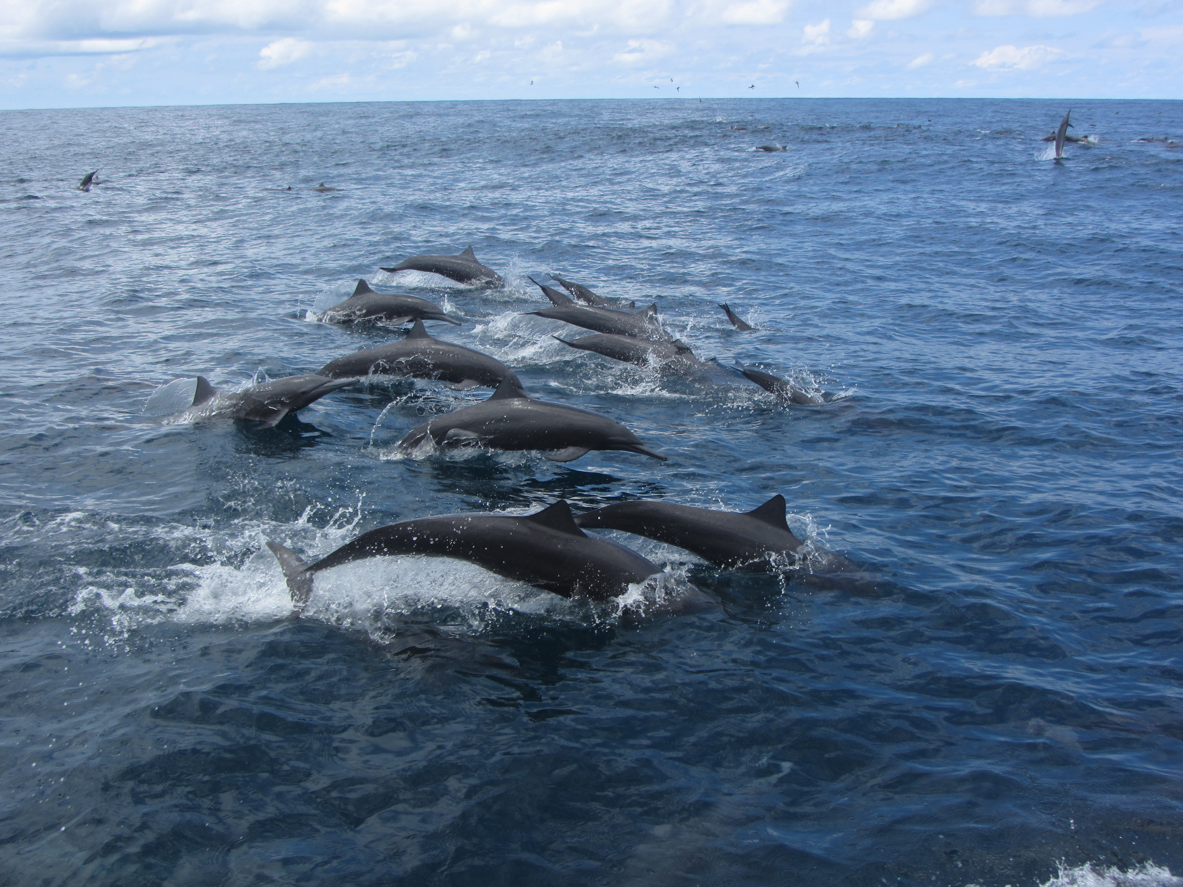 Spinner dolphins in Costa Rica