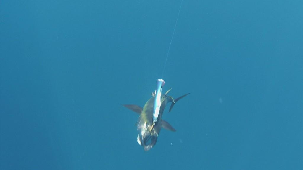 Yellow-fin tuna on a popper near Coiba Island