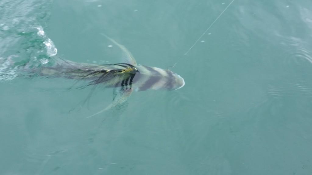 Circle hook Roosterfish