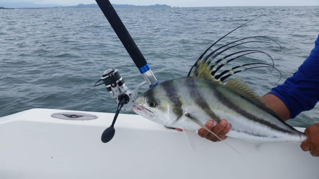 Roosterfish caught in Costa Rica on Okuma Nomad Travel Rod