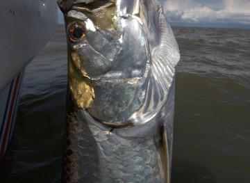 Tarpon fishing tortuguero
