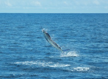 Los suenos marlin fishing