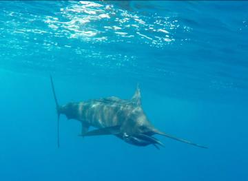 sailfish los suenos