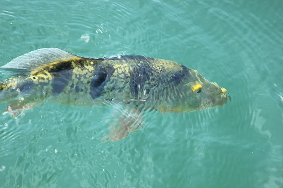 Peacock Bass in Panama