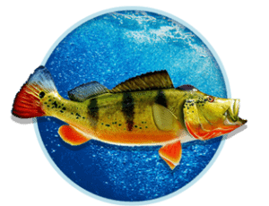 Peacock Bass, Panama
