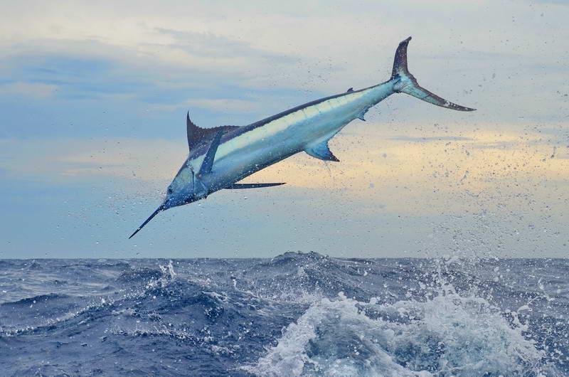Tropic Star Lodge Marlin fishing