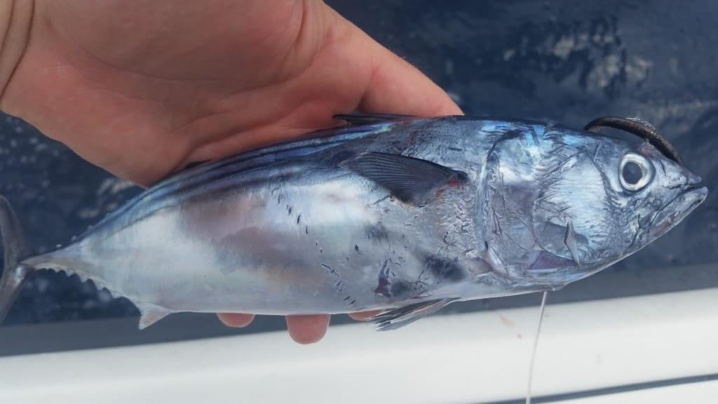 Live bait fishing for tuna in Panama