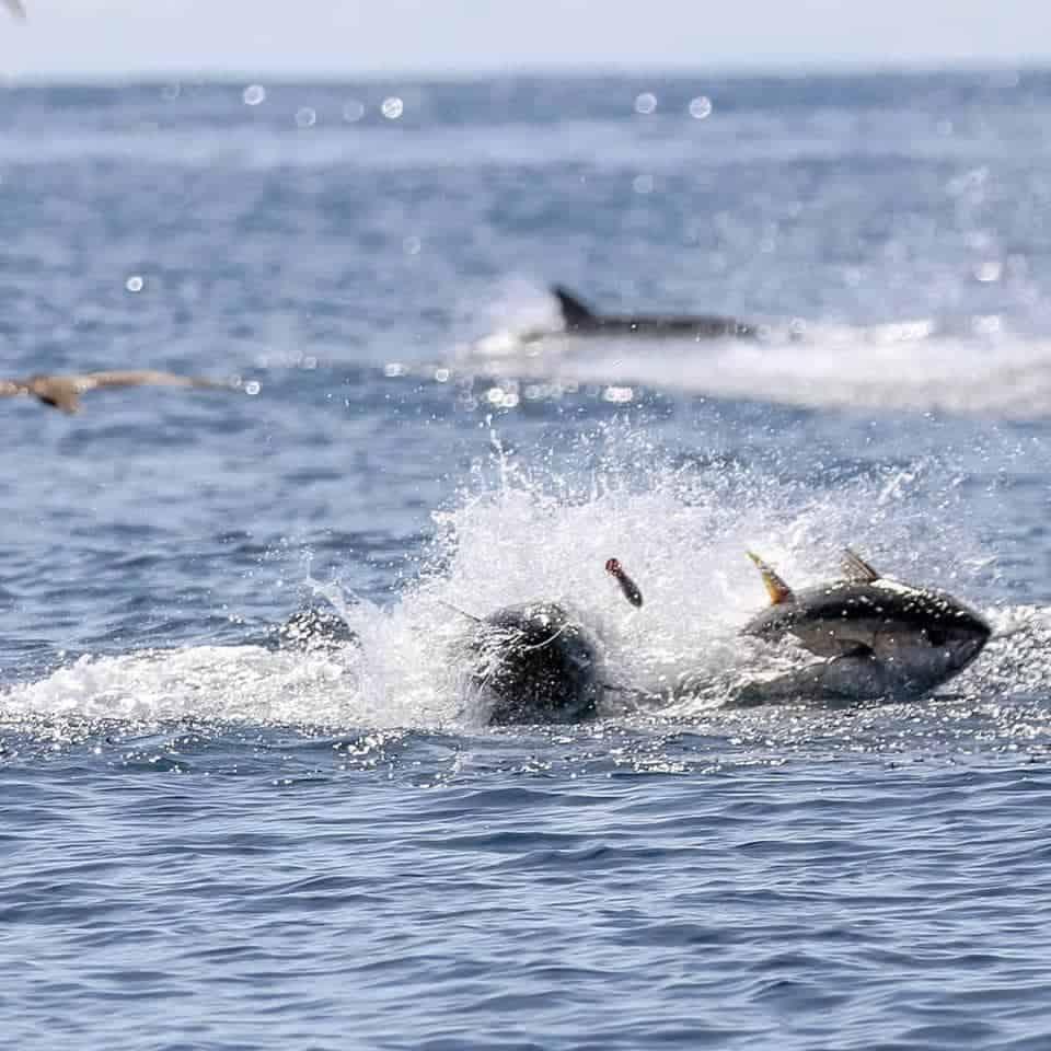 Popper fishing for tuna in Panama