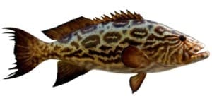 Broomtail Grouper