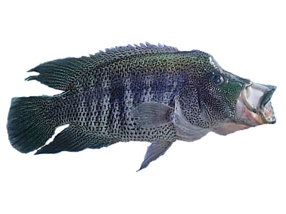 Rainbow Bass