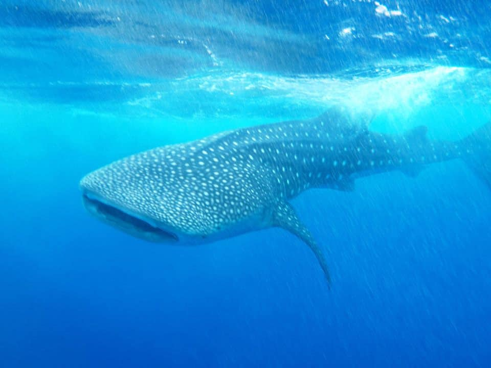 whale shark belize