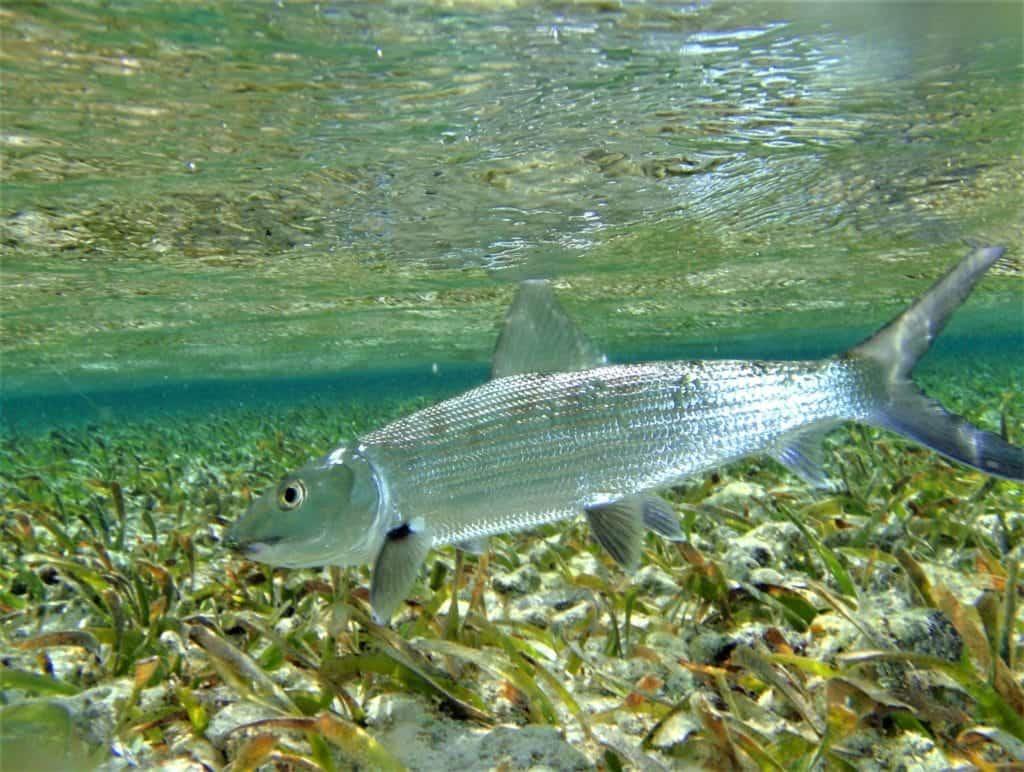 belize bonefish